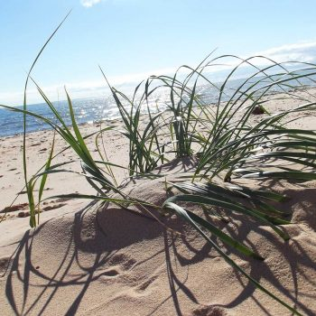 Wispy green grass grows in mounds of sand at PEI beach
