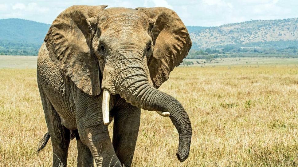 Virtual tour of wildlife, African elephant