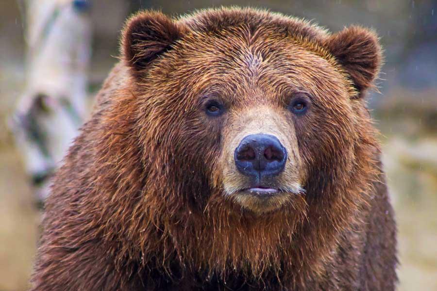 Virtual tours of wildlife, brown bear up close