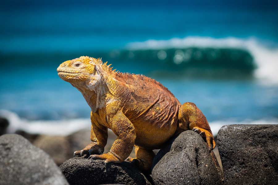 Virtual tours of wildlife, Galapagos Islands, iguana