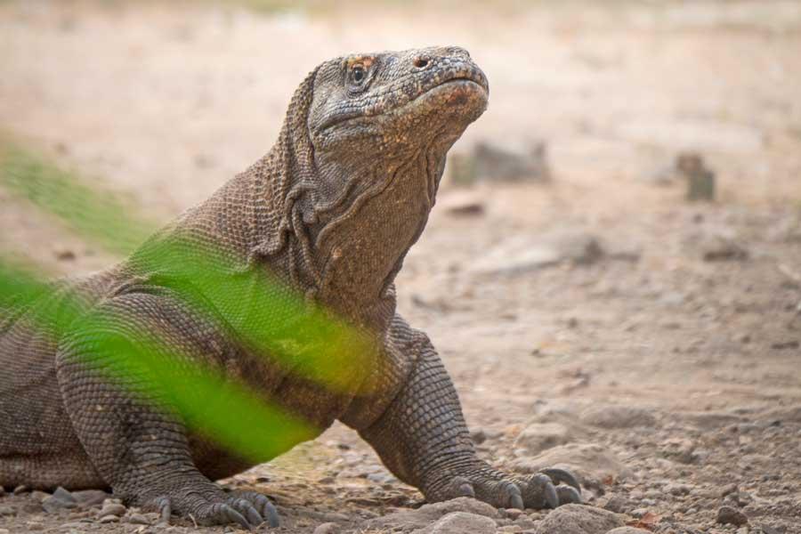 Close up of Komodo Dragon, wildlife in Indonesia