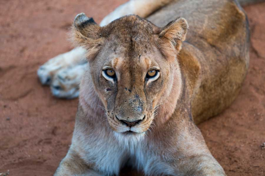 Virtual tours of wildlife, lion up close in Africa