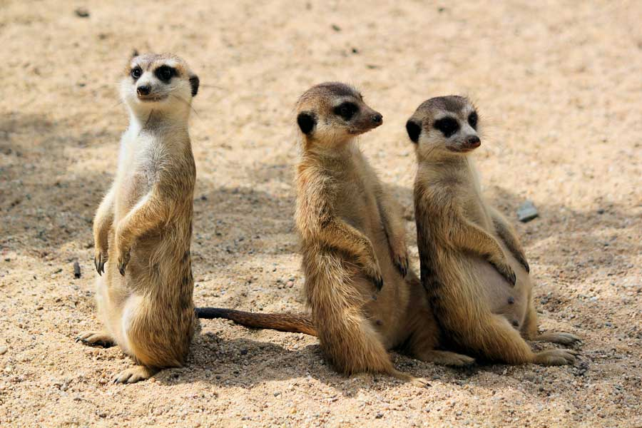 Virtual tours of wildlife, meerkats in Africa