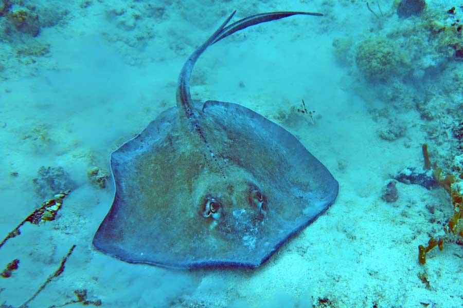 Stingray on ocean floor