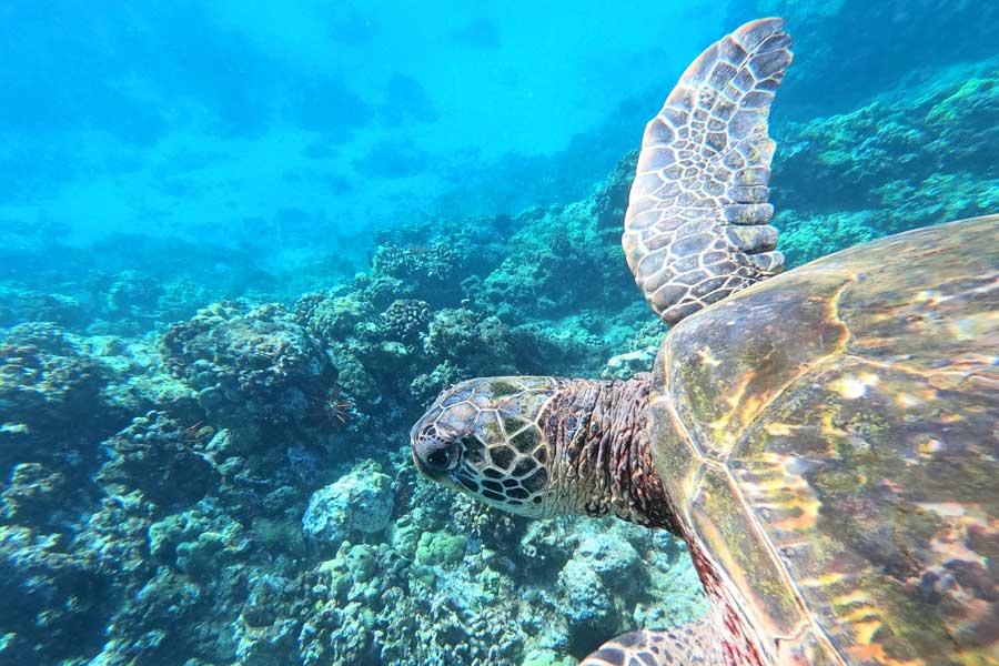 Virtual tours of wildlife, sea turtle near reef in the ocean