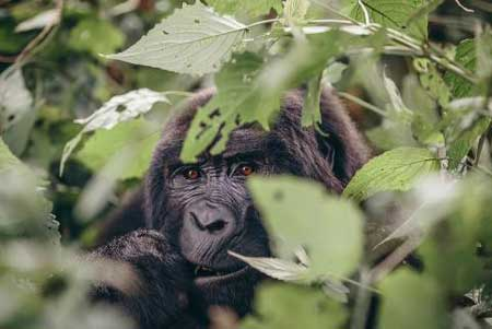 Gorilla up-close in Africa, Christmas vacation ideas for couples, Intrepid Travel