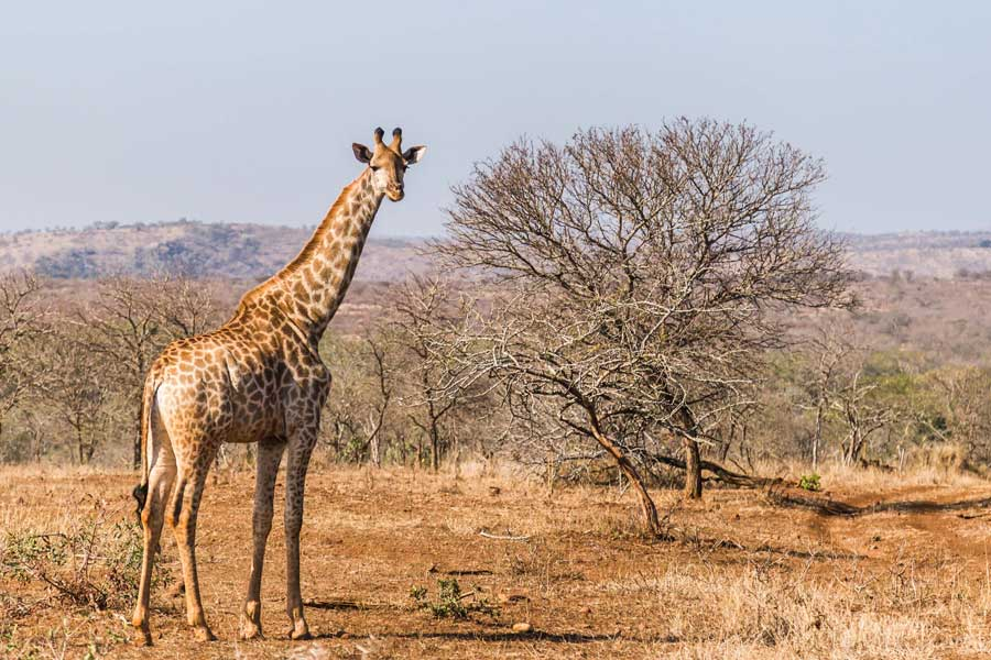 Giraffe on African safari, best trips with mom, places to go for mother daughter trips of a lifetime